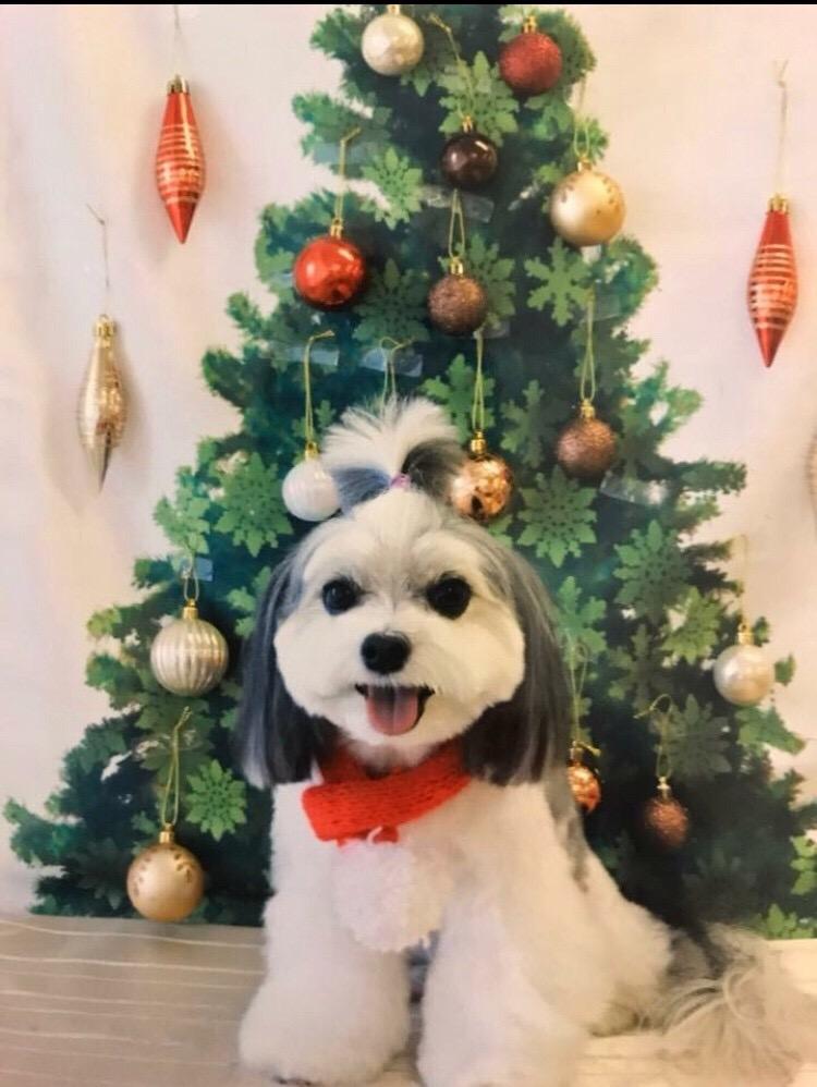 【今日のわんこ】メリークリスマス! クリスマスをお祝いする太郎くん★_1