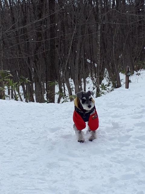 【今日のわんこ】雪山で元気に遊ぶサクラちゃん☆_1