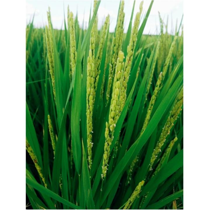 稲の穂が出ました!!花が咲いてます♡<稲の成長記録!>【#モアチャレ 農業女子】_2_2