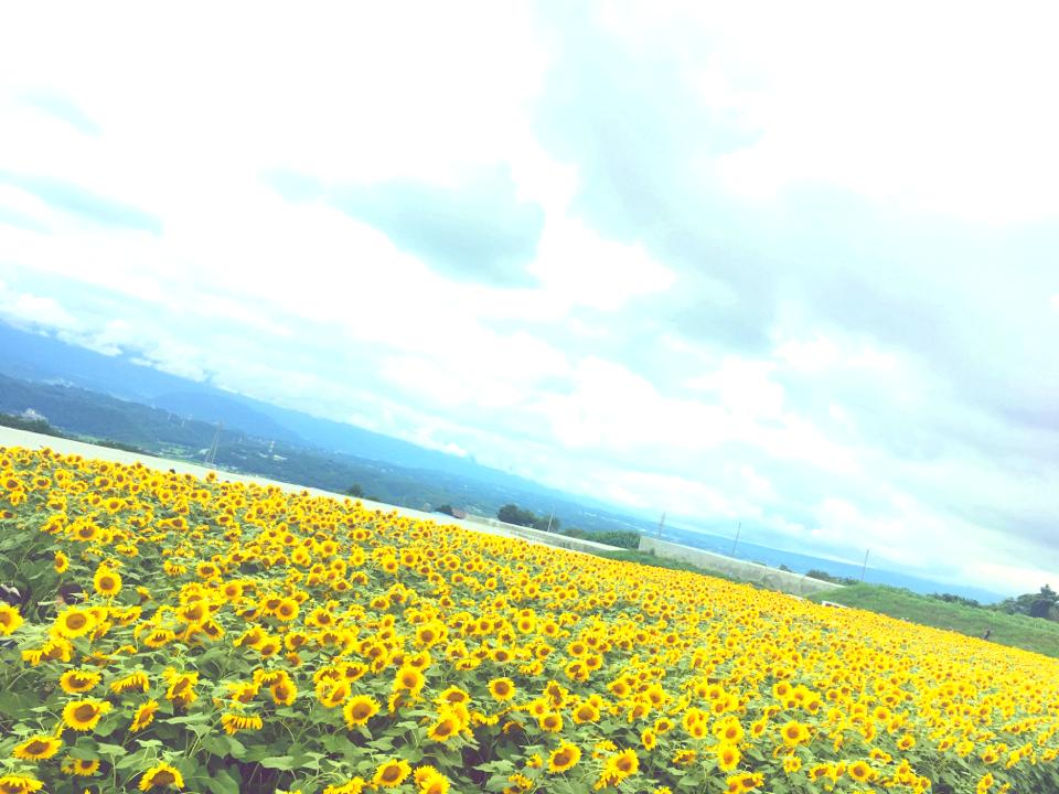 60万本の奇跡!明野ひまわり畑で初めて食べたひまわりソフトクリーム_3