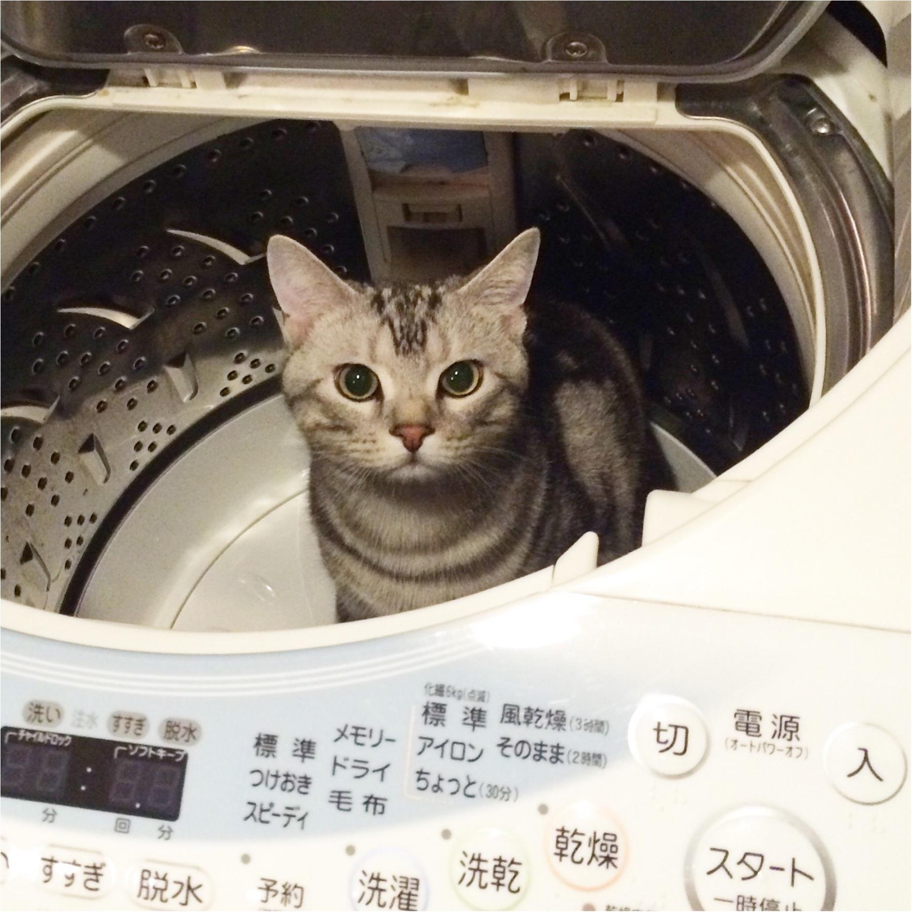【今日のにゃんこ】ここなら安全!? アランくん、洗濯機に逃げ込むの巻_1