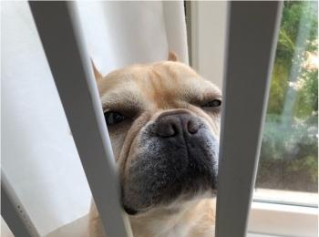 【今日のわんこ】「わたしもそっちに行きたいワン」と柵の間に挟まるまつこ♡