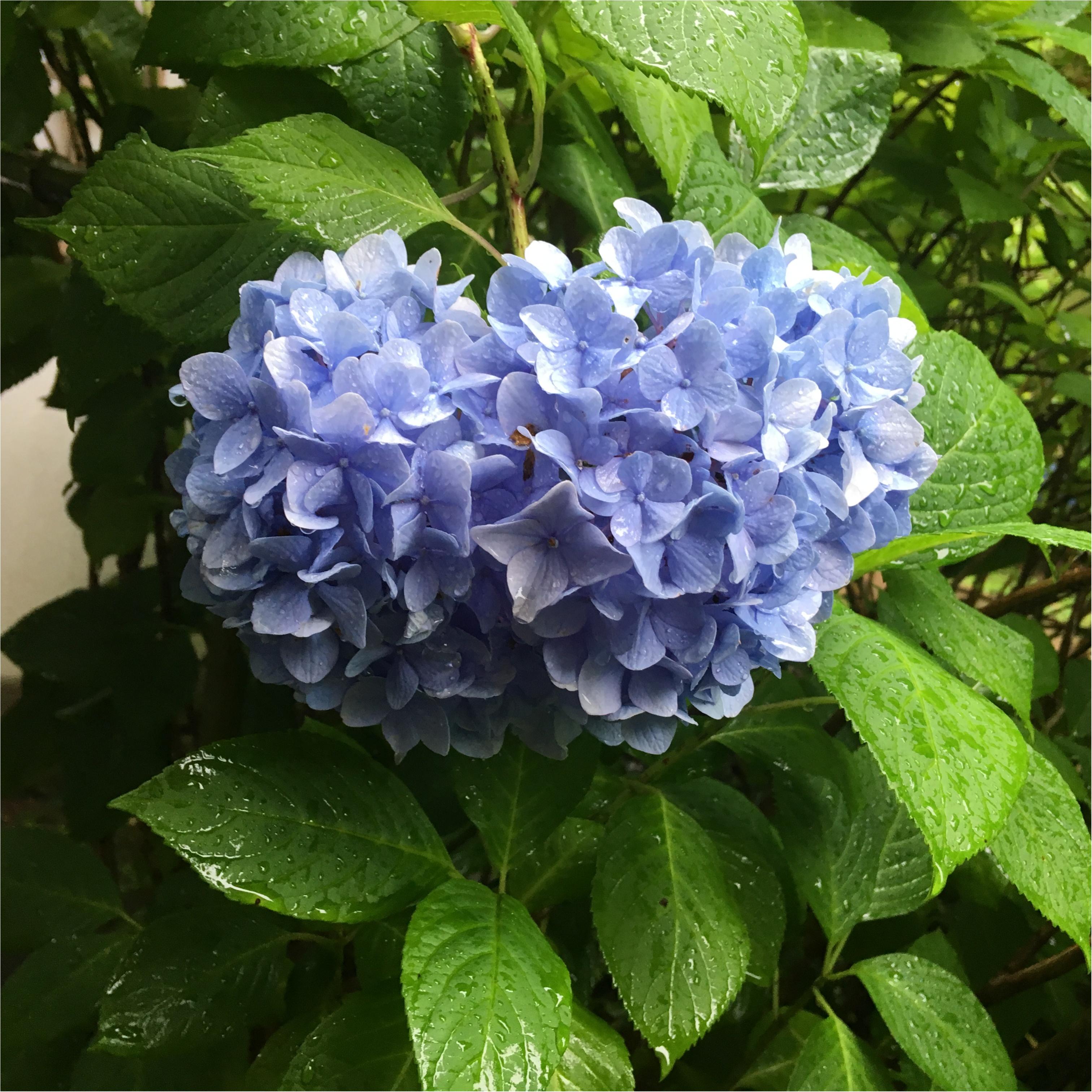 鎌倉の「あじさい寺」へ行ってきました♪_2