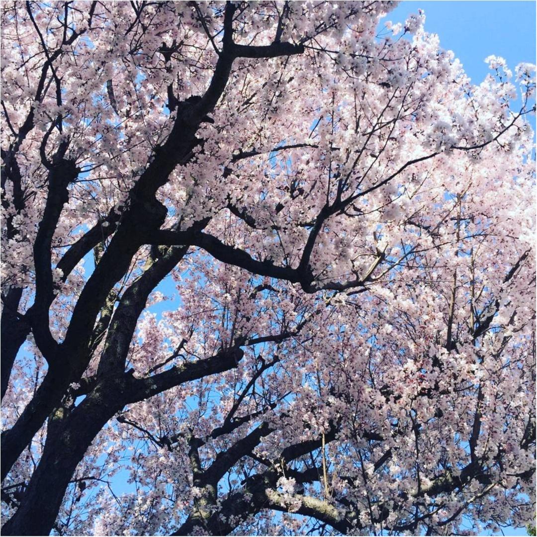 【お花見弁当】お花ウィンナーが可愛い!_1