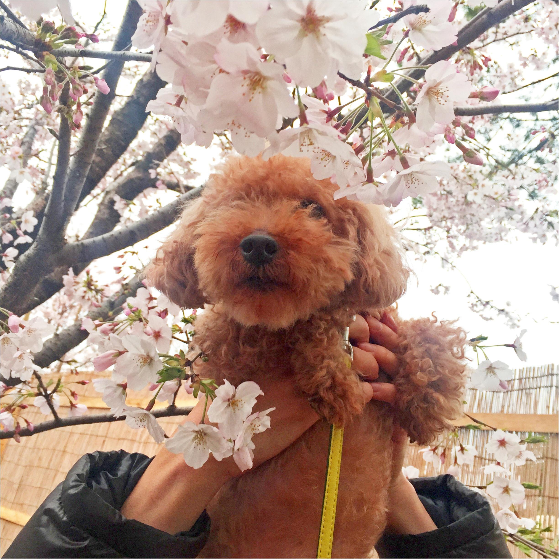 【今日のわんこ】お花見がしたいワン♪ 早くも来年が待ち遠しいプーニョくん_1