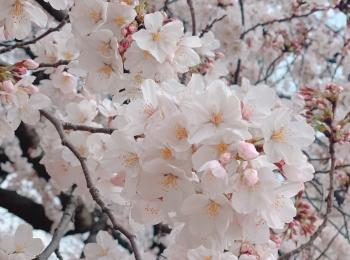 ▷桜の季節【お手軽お花見どこでする??】