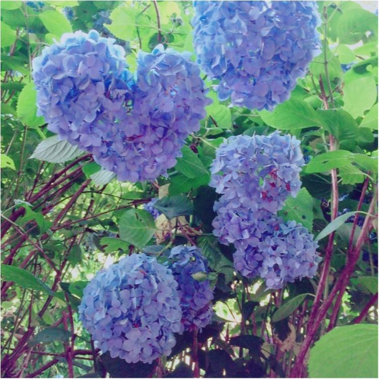 <紫陽花だらけのお寺?!>写真映え間違いなしの「明月院」とは…☻_2