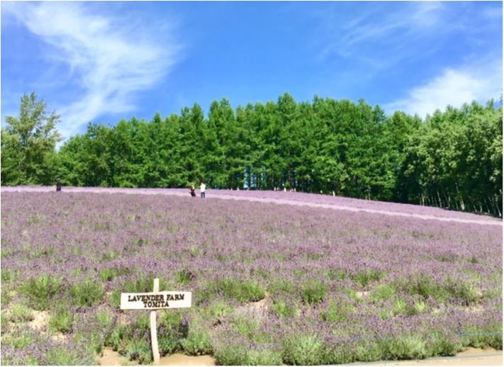 北海道《ラベンダー畑》で初夏を感じて♪花のじゅうたん「ファーム富田」_4