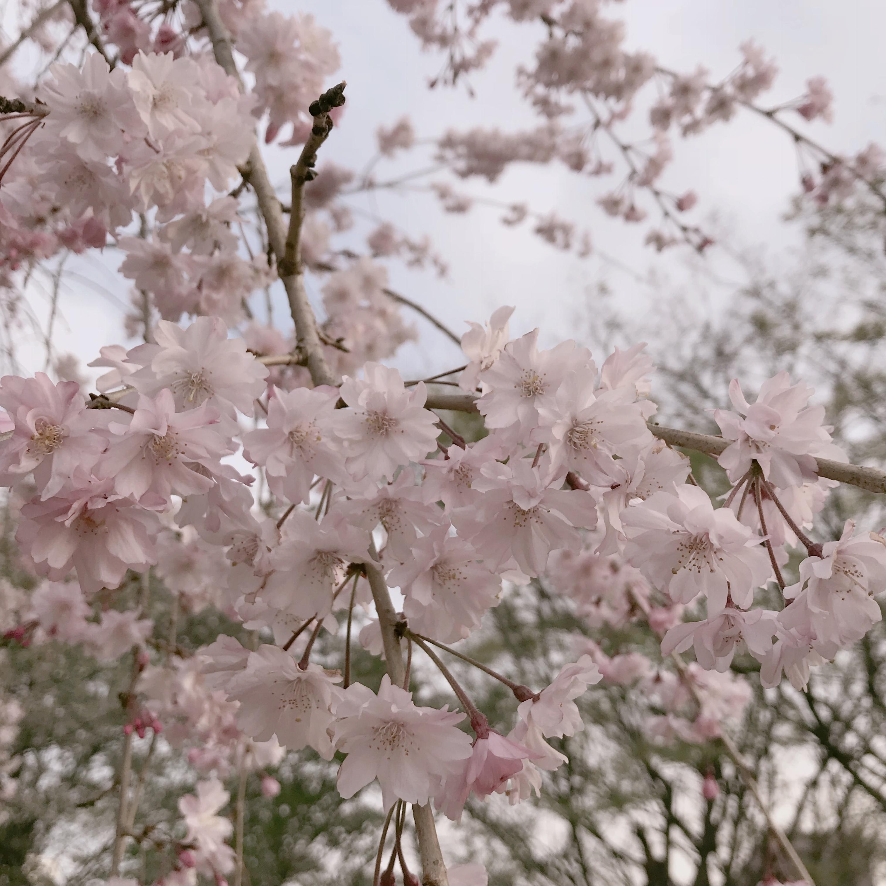 桜の下でピクニック❤︎簡単におしゃれでかわいい【おしゃピク】できます!_1