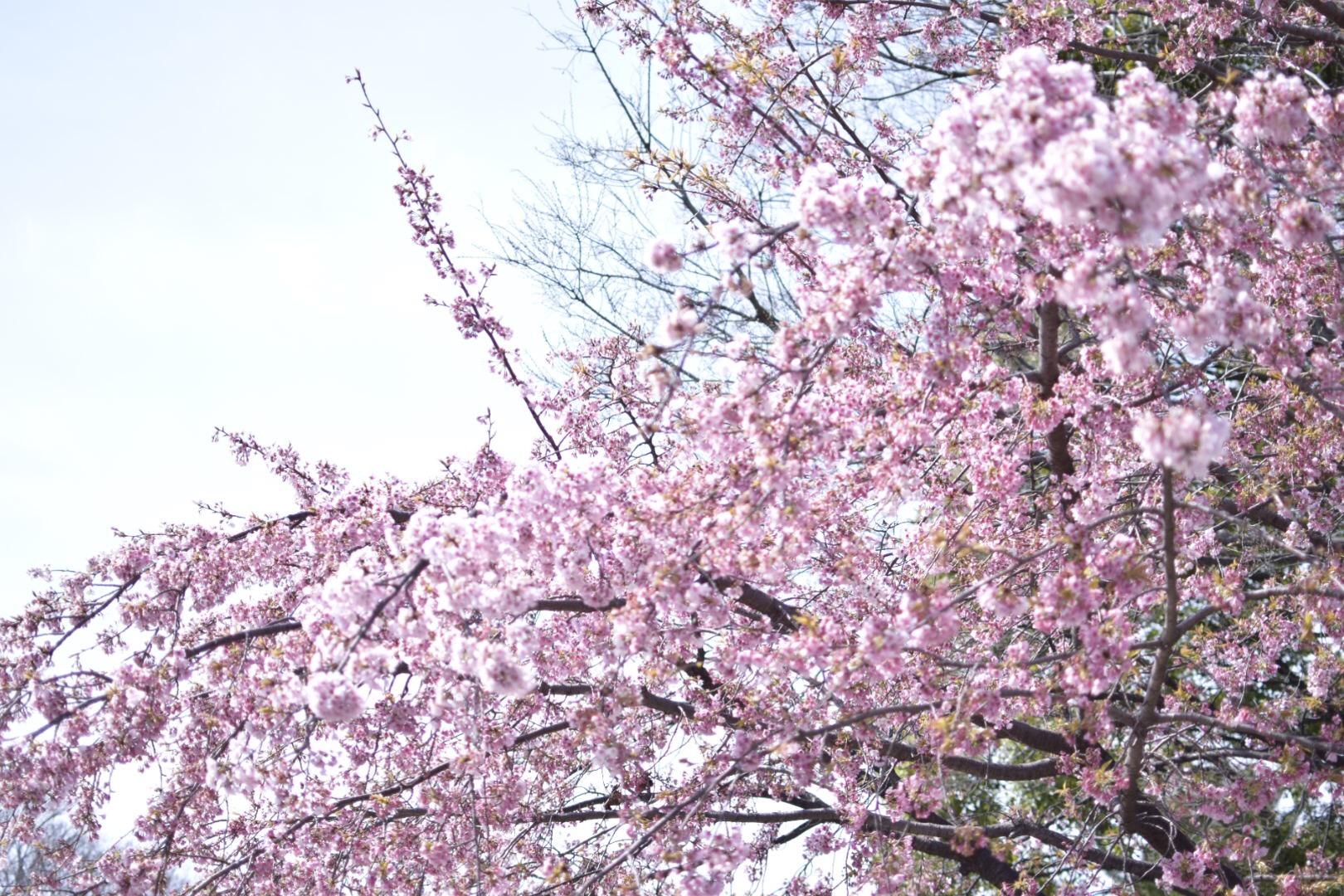【名古屋】名古屋城でお花見!!名古屋城春まつり【桜】_1