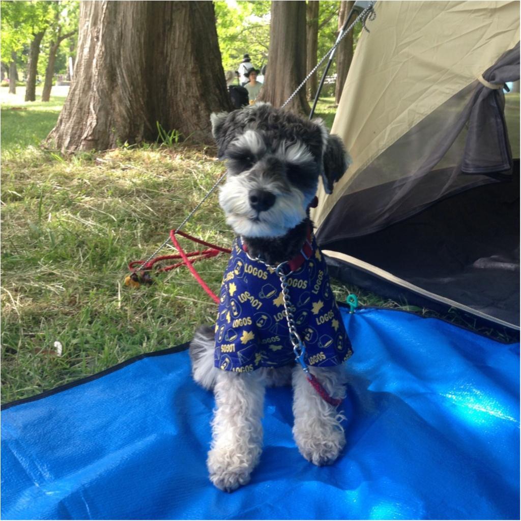 【今日のわんこ】ワクワクが止まらない♪ サクラちゃんはキャンプにお出かけ!_1