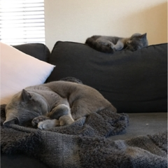 【今日のにゃんこ】兄弟ですもの♡ 違う場所でも同じポーズで寝るムクくんとレオくん