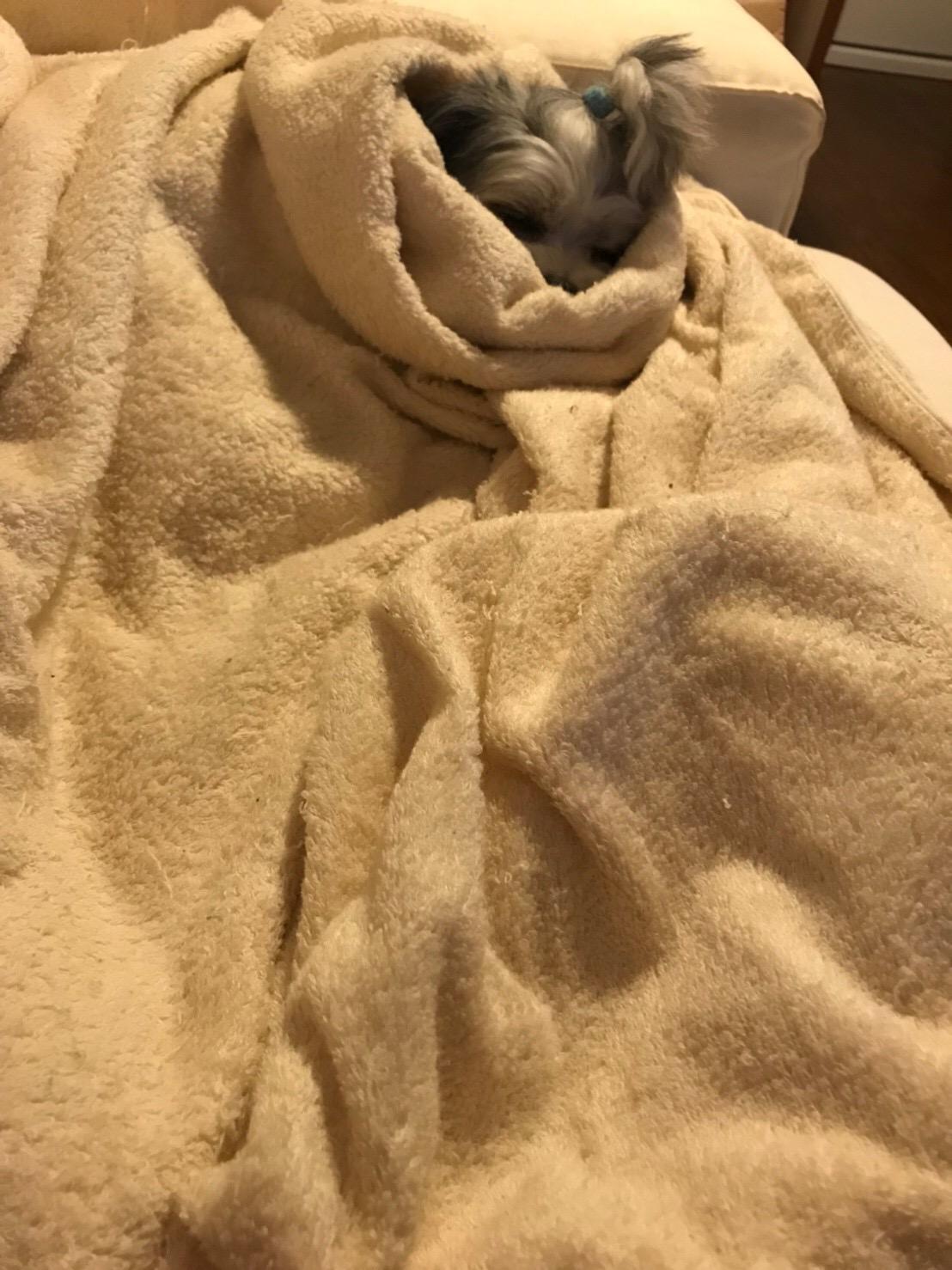 【今日のわんこ】あまりの寒さに布団から出られない太郎くん。_1
