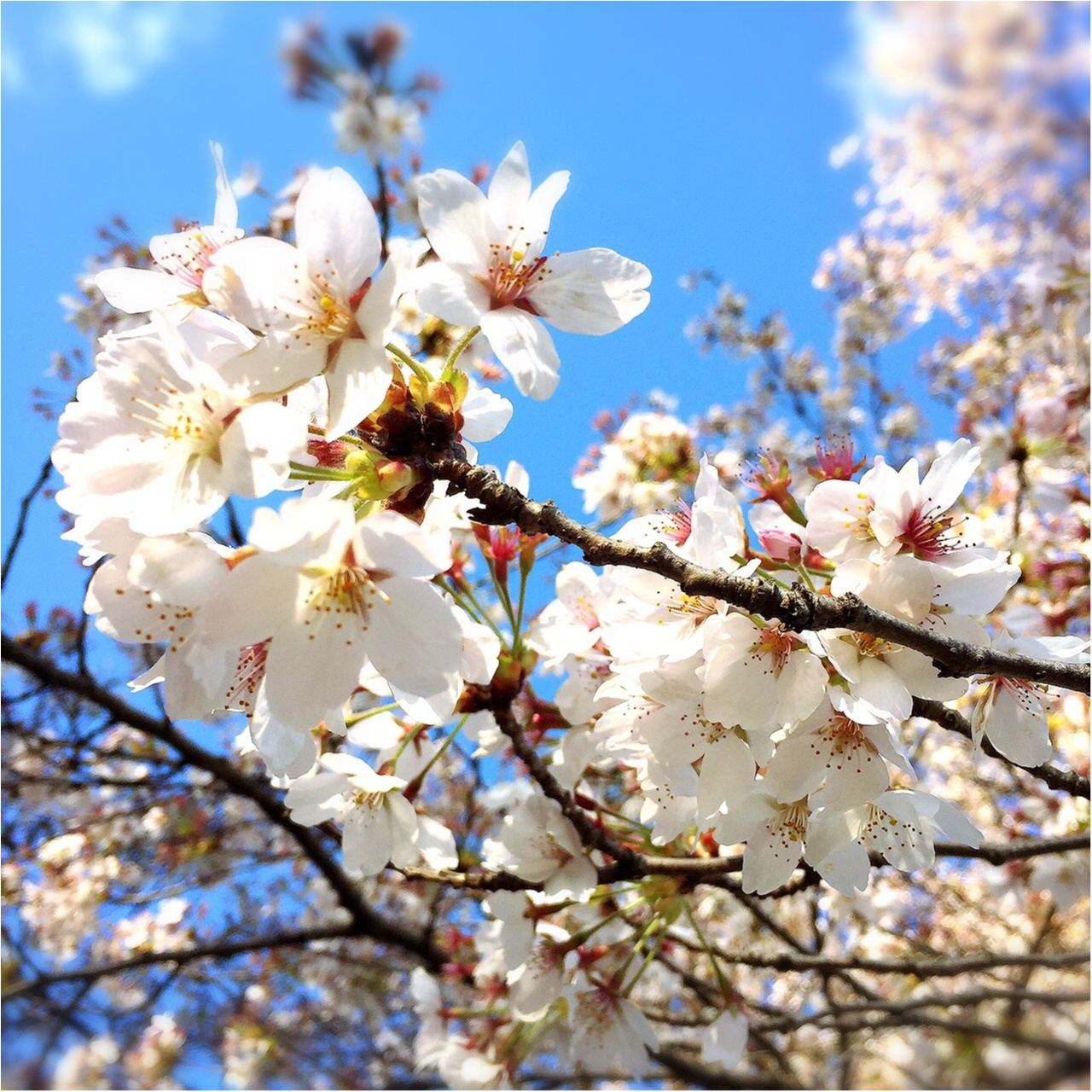 自家製桜ラテが作れる♪♪はちみつ専門店ラベイユ【はちみつショコラペースト*桜】_5