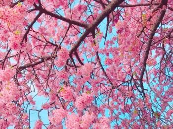 今が見頃❤︎3月なのに桜を楽しめる!河津桜を見に行ってきました*・゜゚・*:.。..。.:*・