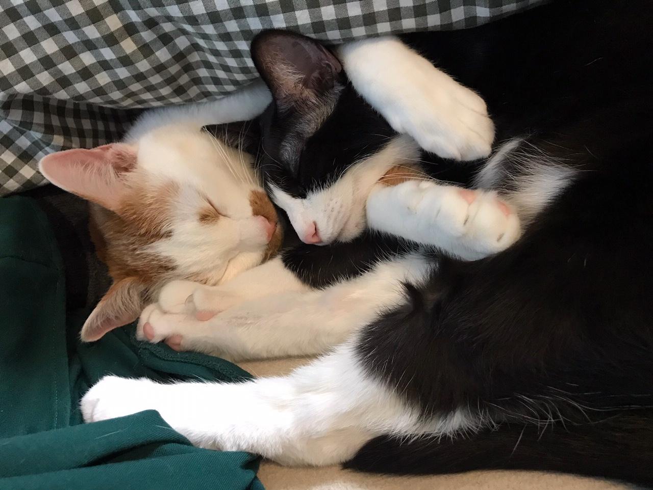 【今日のにゃんこ】ルウくんを抱えるようにして眠るラビくん☆_1