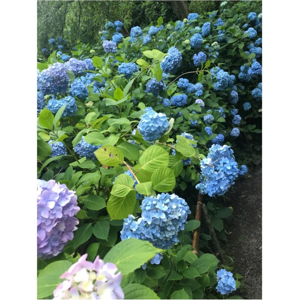 《 鎌倉 》へは今行くのがおすすめ!紫陽花が見頃です ♡_4
