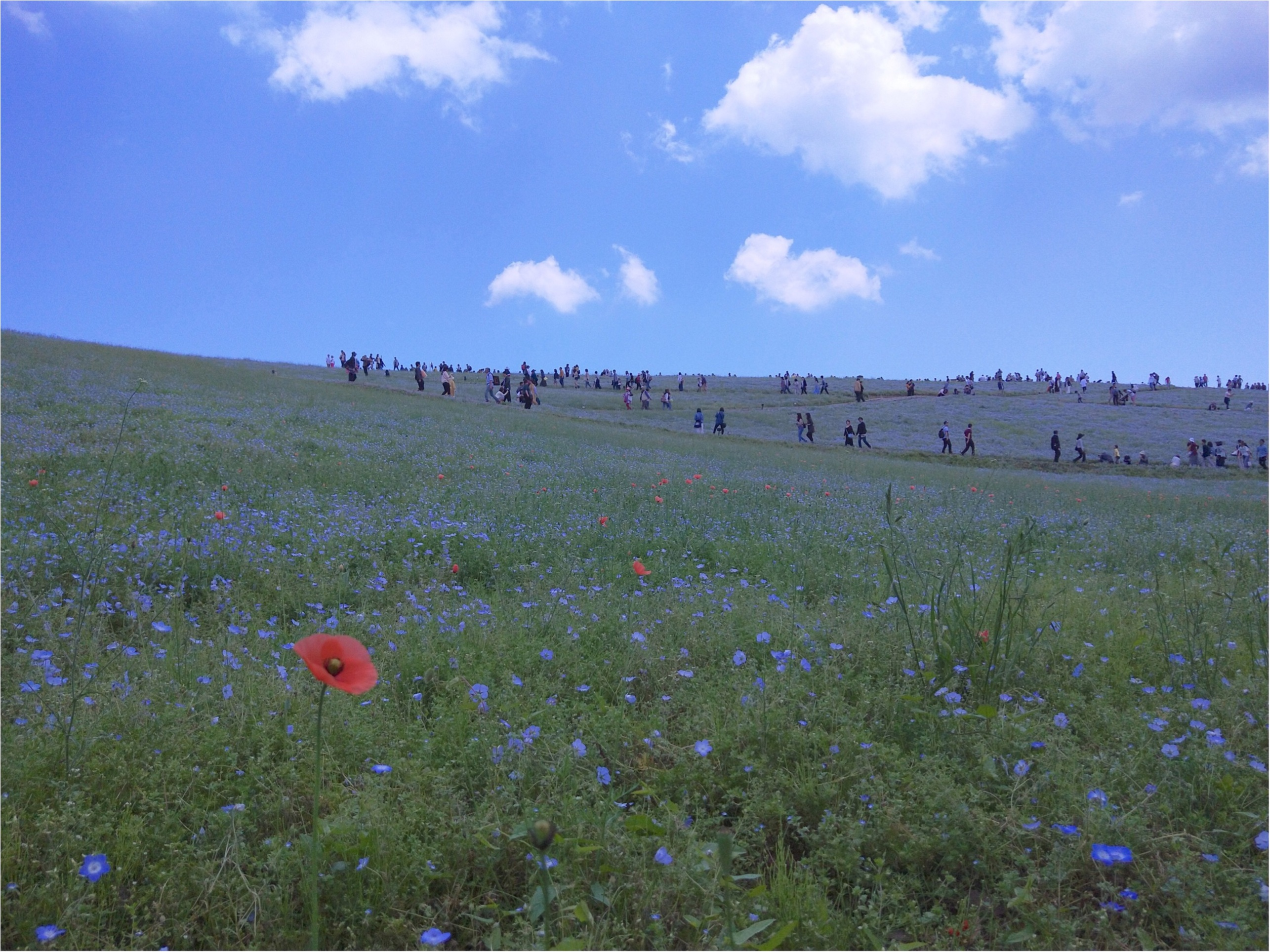 丘一面に広がる青い絨毯「ネモフィラ」観賞と新鮮な海鮮丼を食すバスツアー✨_1_3