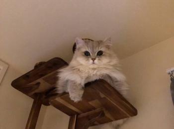 【今日のにゃんこ】キャットタワーから見下ろしてくるココンちゃん