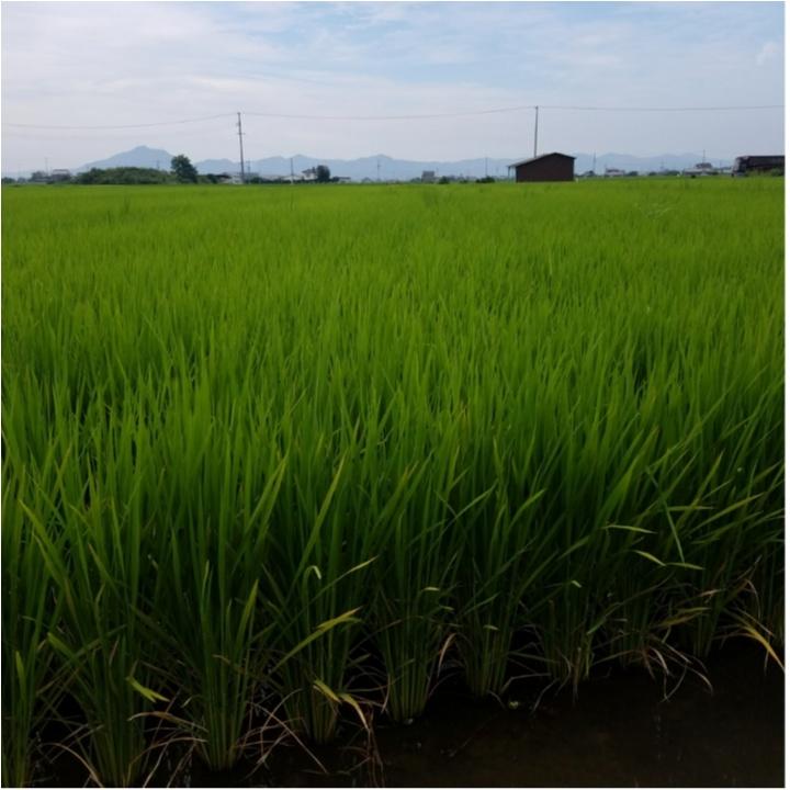 稲の成長記録!暑さに負けず草取り!もうすぐ穂が…!?【#モアチャレ 農業女子】_4