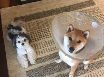 【今日のわんこ】柴犬の小太郎と久々にあそんだ! な太郎くん