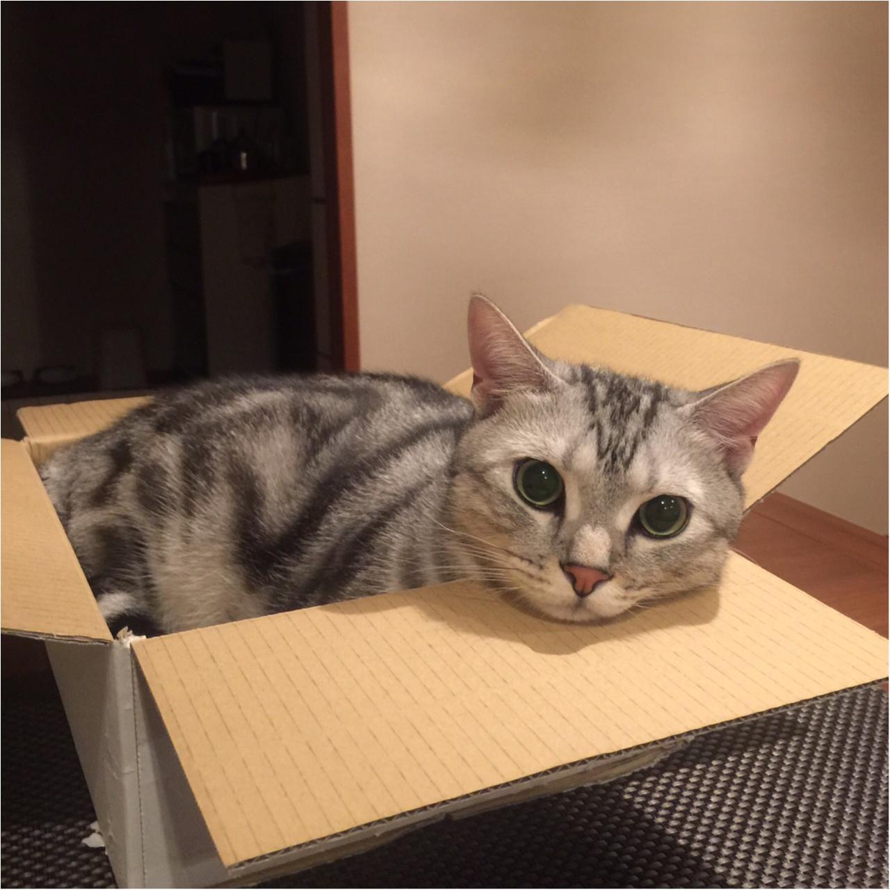 【今日のにゃんこ】ぴったり♡ 箱に入るのが大好きなアランくん_1