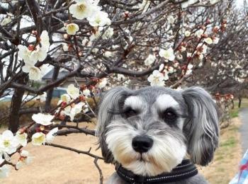 【今日のわんこ】サクラちゃん、お花見を楽しむの巻