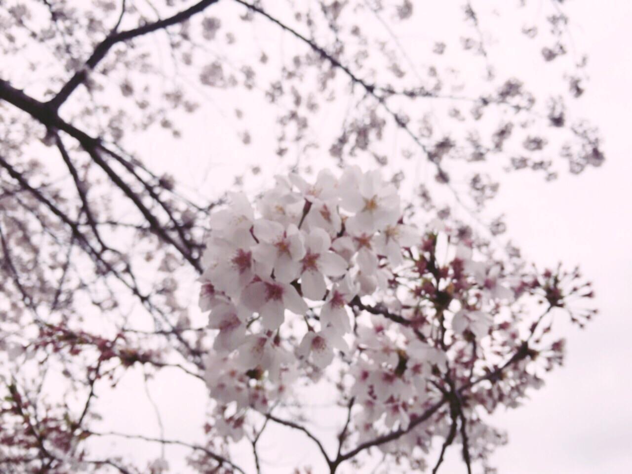 桜の命は短し、恋せよ乙女。_2