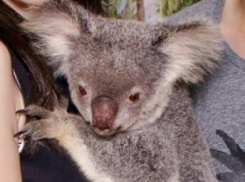 【オーストラリア♡ケアンズ】コアラに会いに行きました!