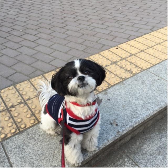 【今日のわんこ】まだ帰りたくない!! もっとお散歩したいアイビーくん_1
