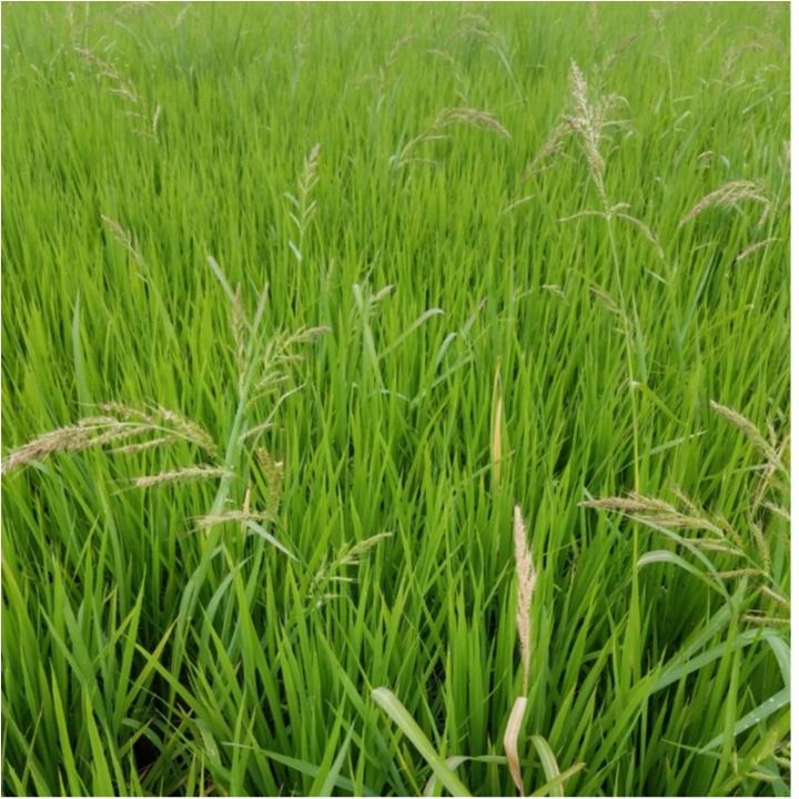 稲の成長記録!暑さに負けず草取り!もうすぐ穂が…!?【#モアチャレ 農業女子】_3
