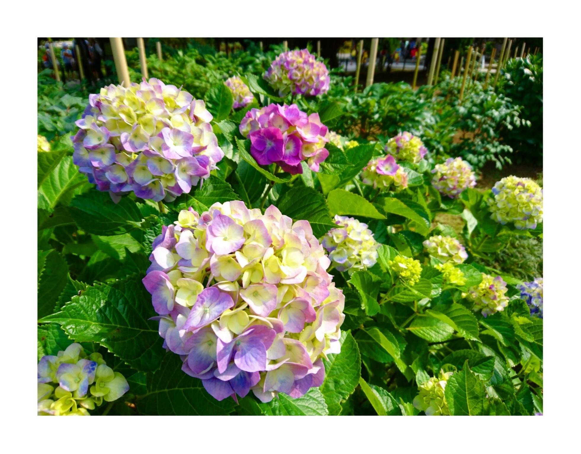 【散策】新緑が美しいこの季節は、鎌倉がおすすめ! ~ 紫陽花が見頃です ~  _6