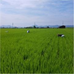 稲の成長記録!暑さに負けず草取り!もうすぐ穂が…!?【#モアチャレ 農業女子】