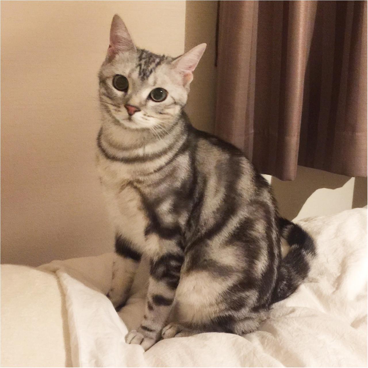 【今日のにゃんこ】おすましポーズで♪ アランくんの美猫っぷりにキュン♡_1