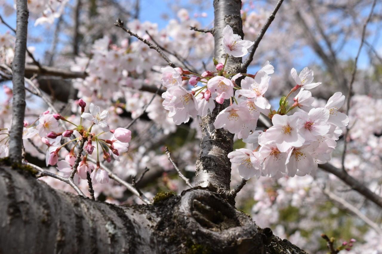 佐倉城址公園でお花見♡_1