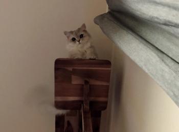 【今日のにゃんこ】キャットタワーから見下ろしてくる、ココンちゃん