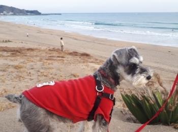 【今日のわんこ】御宿海岸で、遠くを見つめるサクラちゃん
