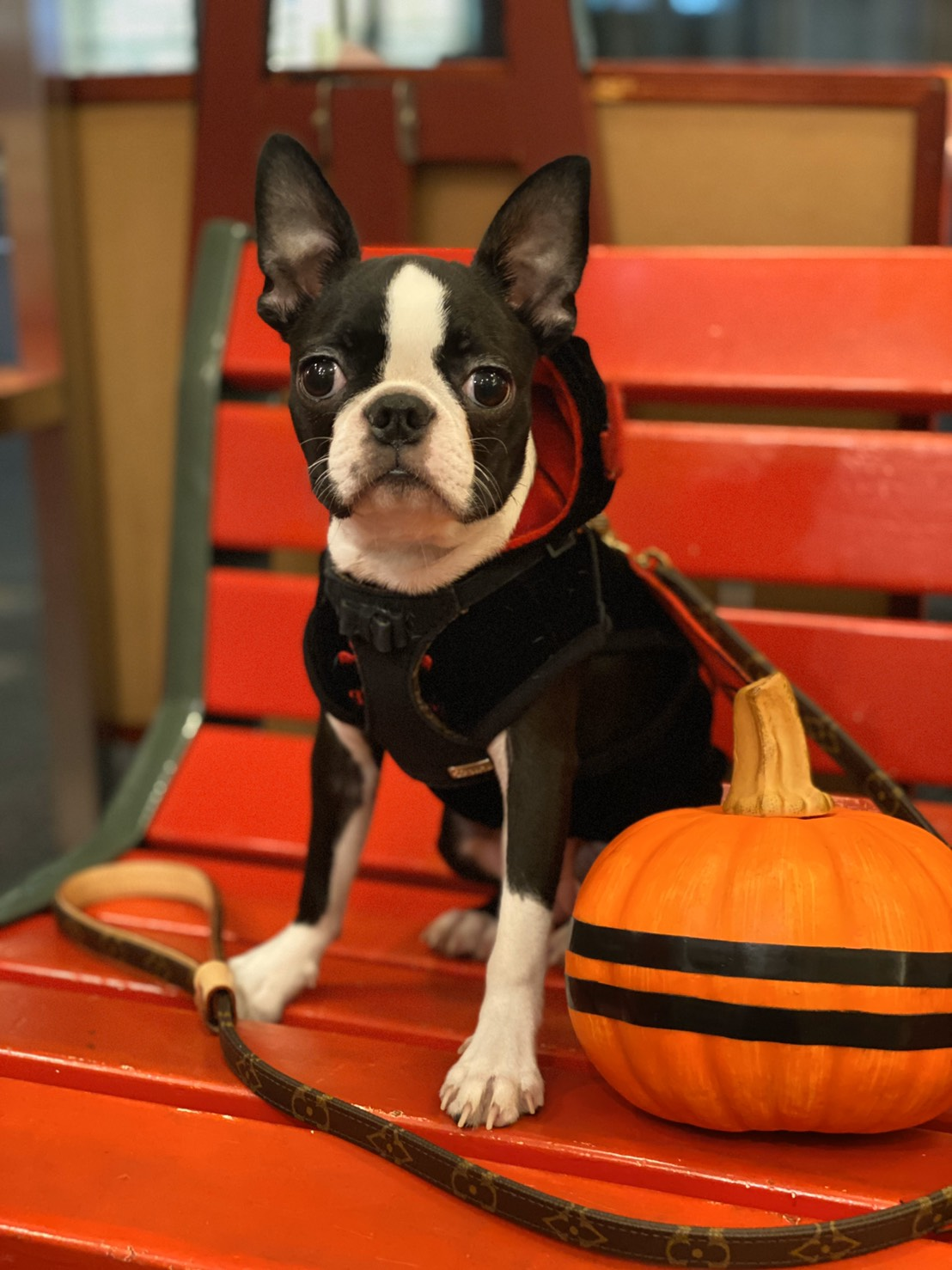 【今日のわんこ】ハロウィン仮装したへちまちゃん♡ お菓子をもらいにさあ行くぞ_1