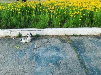 【今日のわんこ】きれいだね♪ 太郎くんとお花畑