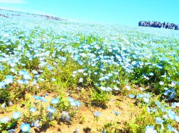 一面に咲き誇るネモフィラに大興奮&大感動! 『国営ひたち海浜公園』が圧倒的人気♡【G.W.中のモアハピ部人気ランキング】