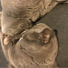 【今日のにゃんこ】ごっつんこ!? いや、寝てるだけ……なムクくん&レオくん