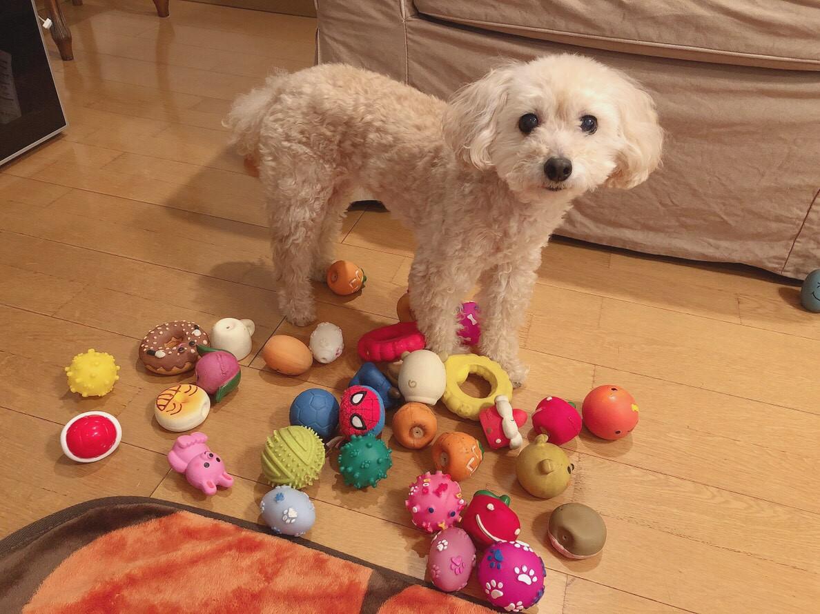 【今日のわんこ】遊ぶおもちゃを飼い主と決めたがるシフォンちゃん_1