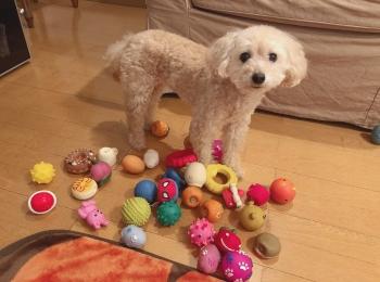 【今日のわんこ】遊ぶおもちゃを飼い主と決めたがるシフォンちゃん