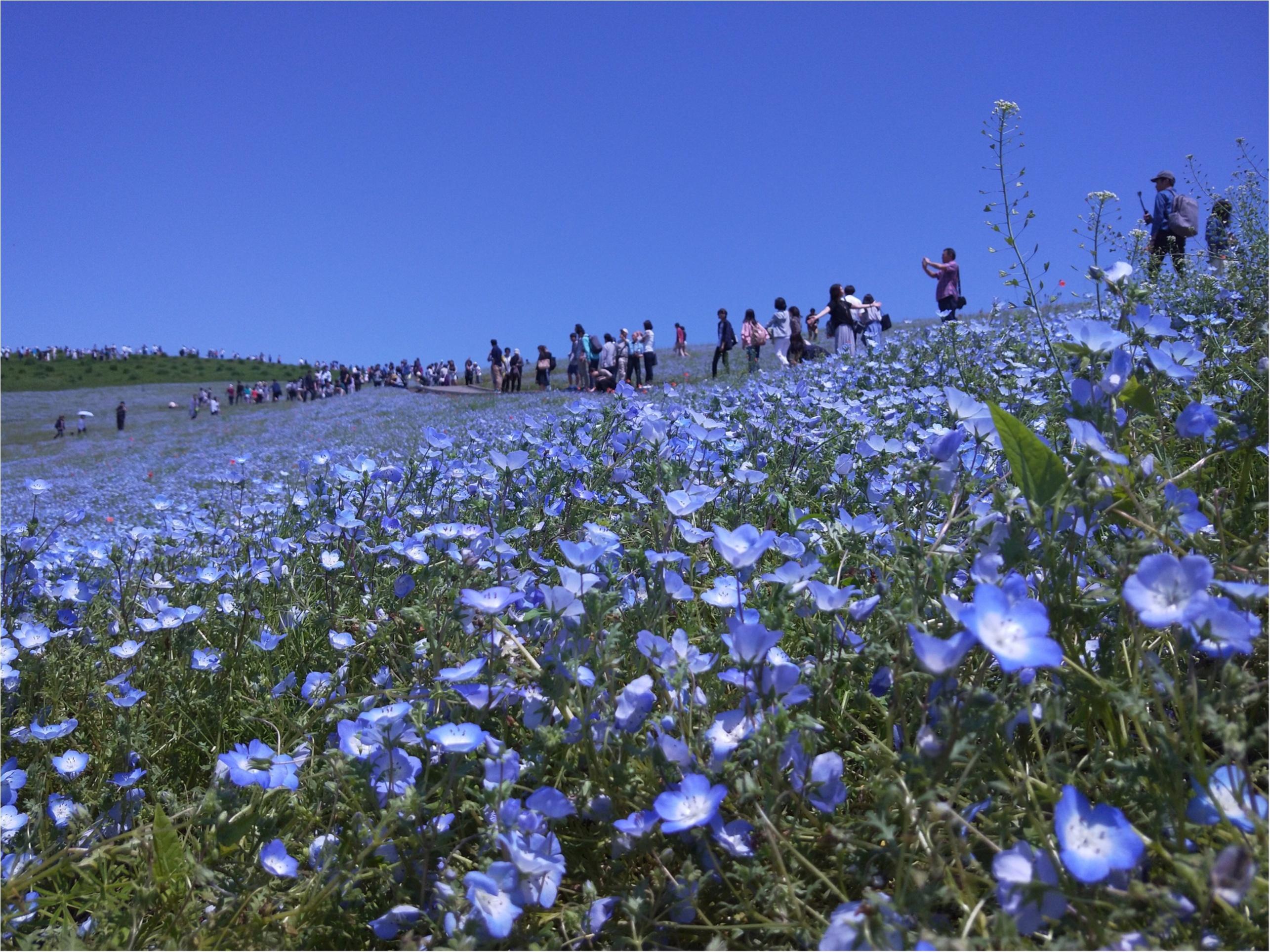 丘一面に広がる青い絨毯「ネモフィラ」観賞と新鮮な海鮮丼を食すバスツアー✨_1_1