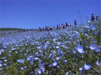丘一面に広がる青い絨毯「ネモフィラ」観賞と新鮮な海鮮丼を食すバスツアー✨