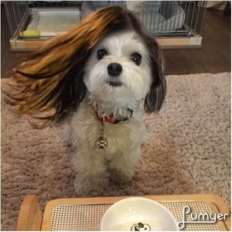 【今日のわんこ】ロングヘアに憧れる~♡ 太郎くんのヘアチェンジ合成写真をお披露目!_1