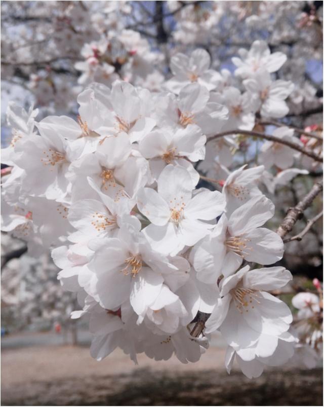 【お花見速報】東京は今週が見頃!?な桜事情_6