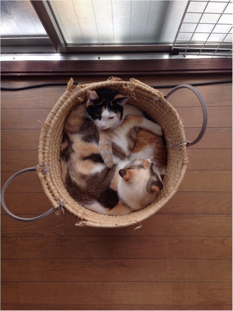 本日のにゃんこ ゆきちゃんとちよちゃん_1