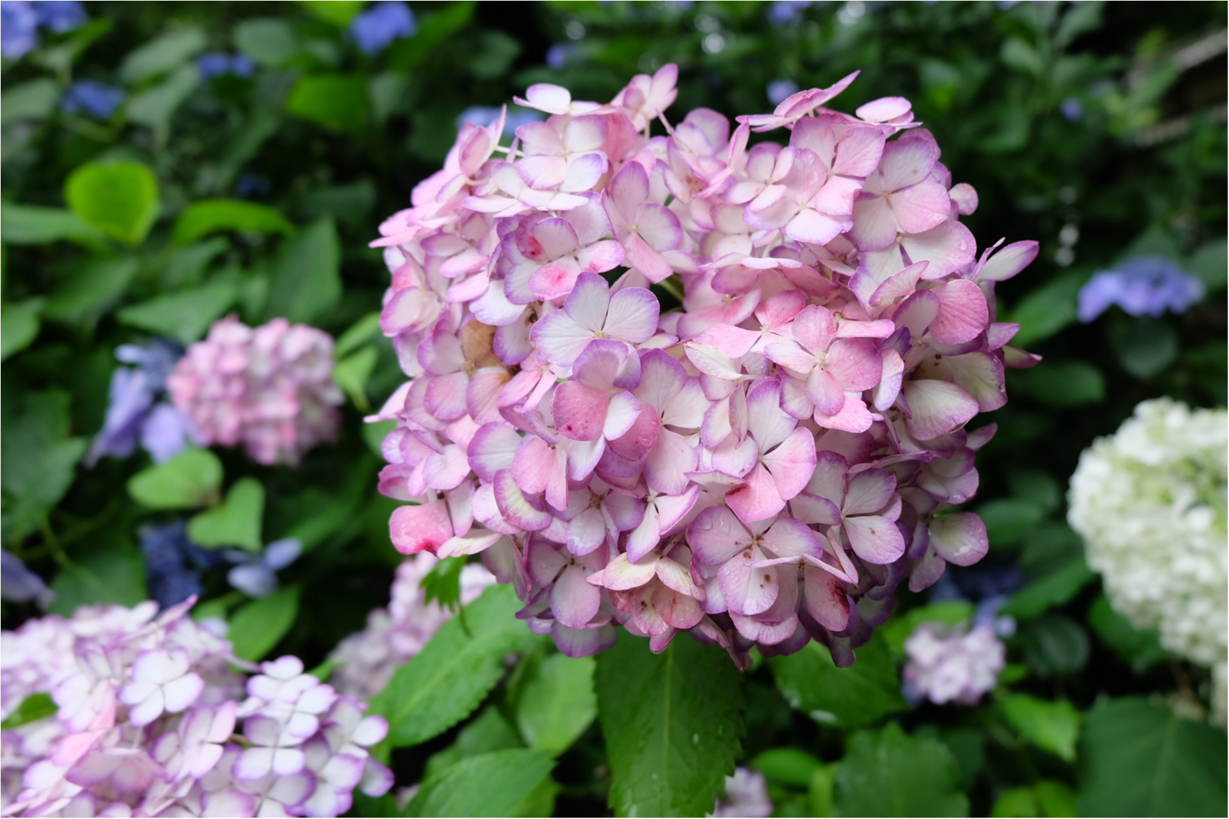 今だから見れる!鎌倉の紫陽花で映える写真を撮ろう♡混雑を避けるには?_3