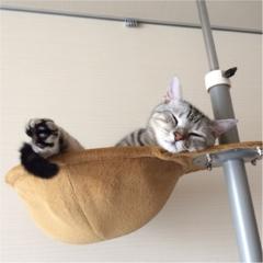 【今日のにゃんこ】ハンモックみたい♪ アランくんはキャットタワーでお昼寝中